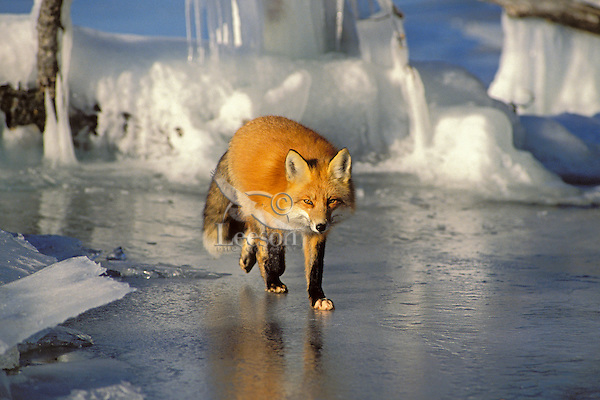 Red fox (Vulpes vulpes) walks along edge of frozen lake.  Winter.