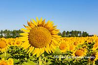 63801-11201 Sunflowers in field Jasper Co.  IL