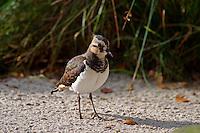 Kiebitz, Vanellus vanellus, Lapwing, Vanneau huppé