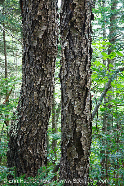 Bark of Black Cherry - (Prunus serotina ehrh) tree - during the summer months in Albany, New Hampshire USA