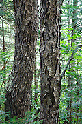Bark of Black Cherry - (Prunus serotina ehrh) tree - during the summer months in Albany, New Hampshire USA