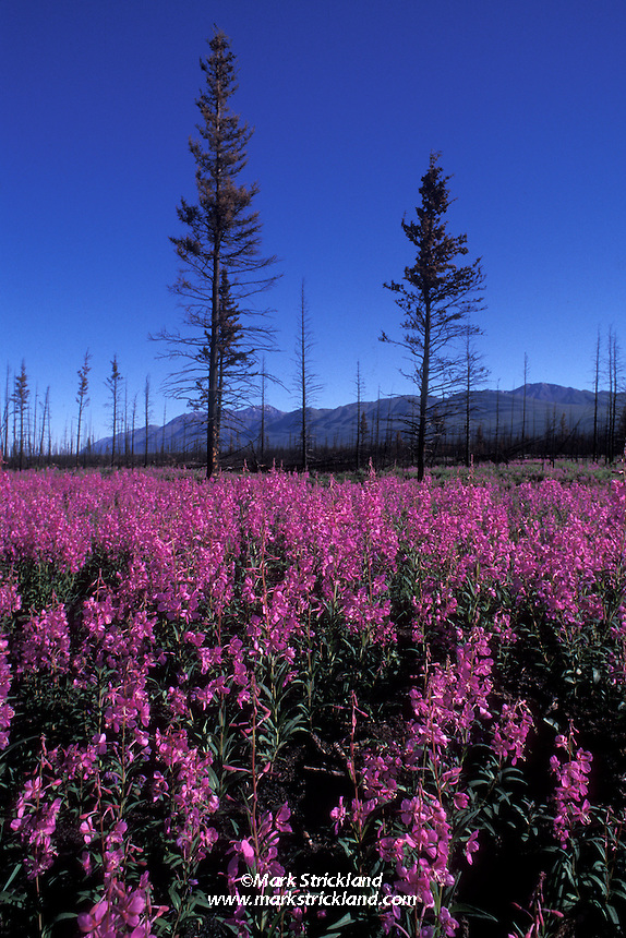 fireweed and pine trees, roadside scenery enroute to Prince William Sound on the Alaska-Canada Highway