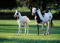 American Paint Horse mare and foal in shadowed paddock.