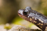 Western Slimy Salamander, Plethodon albagula, adult close up, Uvalde County, Hill Country, Texas, USA, April 2006