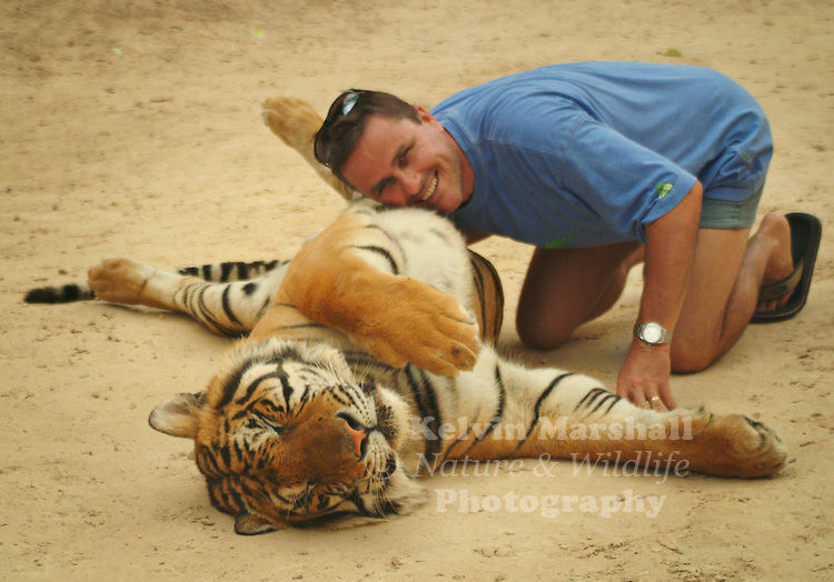 A tourist lays down next to a large male Indochinese Tiger and gets his photo taken.