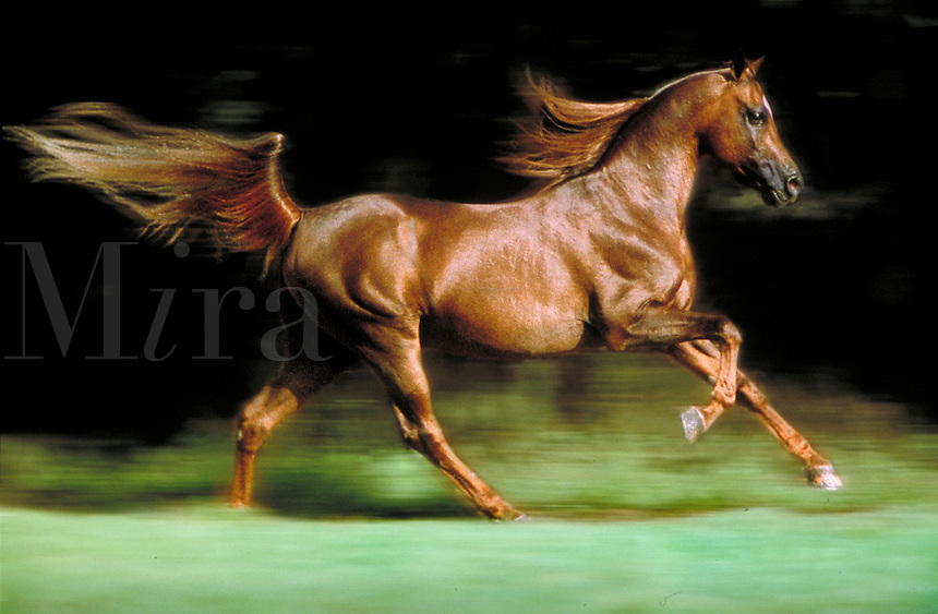 Arabian Stallion, gallops in profile with mane and tail flowing.