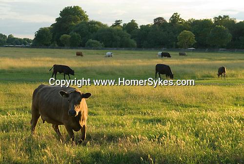 Petersham Meadows Richmond Surrey. National Trust land. Cows grazing. River Thames background.