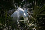 A great egret displays its feathers, Florida