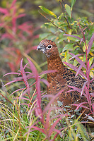 Willow ptarmigan in summer plumage, Denali National Park, Interior, Alaska.
