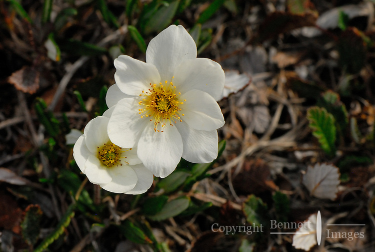 Mountain Avens, lit by the sun along the Kongakut River, in Alaska's Arctic National Wildlife Refuge.