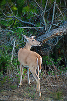 Deer, Outer Banks, North Carolina, USA