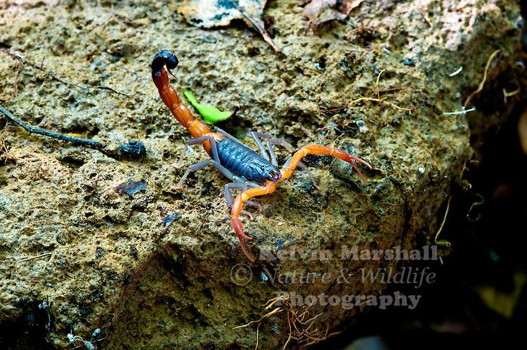 Colourful scorpion (Grosphus sp) in the Ankarana Special Reserve, Antsiranana - Northern Madagascar.