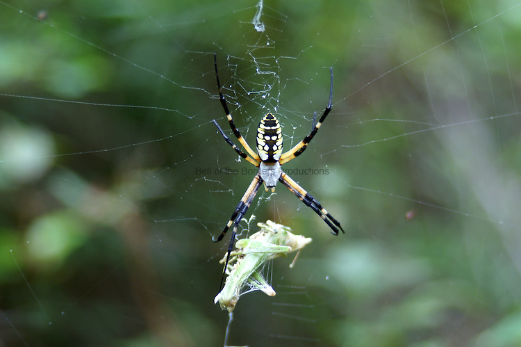 The banana spider keeps a close on the katydid that is wrapped up for lunch.
