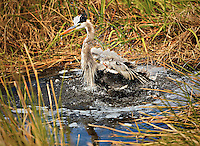 Great Blue Heron splashing in water, taking a bird bath