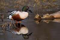 578380011 a wild male or drake northern shoveler anas clypeata in a pond at colusa national wildlife refuge califonia