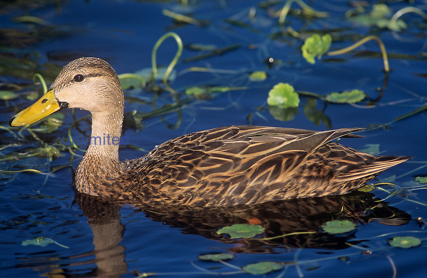 Mottled Duck ,Anas fulvigula,, North America.