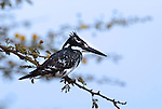Pied Kingfisher, Ceryle rudis, perched on branch over Lake Awasa, Ethiopia, black and white, Africa