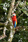 The Scarlet Macaw, Ara macao, is a large, colorful parrot found from Mexico to Brazil.  Photographed here in Costa Rica.