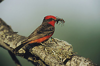 Vermillion Flycatcher (Pyrocephalus rubinus), male feeding young at nest, Starr County, Rio Grande Valley, Texas, USA