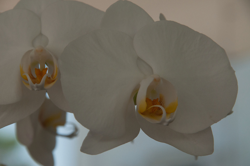 White Orchid Flower, Vero Beach, Florida, US