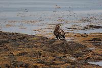 Seeadler, See-Adler, Adler, an der Meeresküste auf Tang, Haliaeetus albicilla, white-tailed eagle