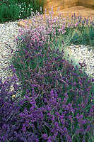 Lavender herbs English Lavandula angustifolia in purple and pink flower colors planted together by patio. Fragrant and great cutting flowers