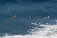570000006 wild federally endangered brown pelicans pelecanus occidentalis soar over the breaking surf of the pacific ocean at torrey pines state preserve la jolla california