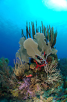 nr0427-D. sea fans, sponges, soft corals etc. on a shallow coral reef. Belize, Caribbean Sea.<br /> Photo Copyright &copy; Brandon Cole. All rights reserved worldwide.  www.brandoncole.com