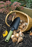 Planting daffodils in the garden in autumn fall, with basket of bulbs, trowel, fall leaves, sedum plant flowers