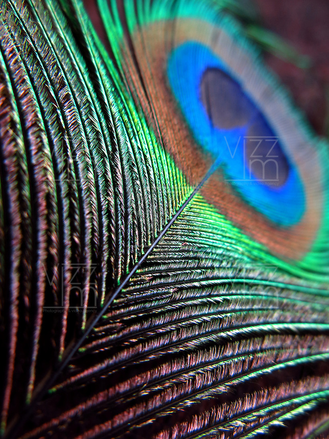 BOGOTÁ-COLOMBIA-14-01-2013. Pluma de un pavo real.  Feather of peacock.(Photo:VizzorImage)