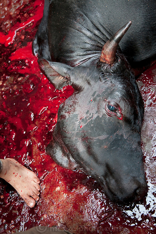A man stands in the blood of a slaughtered cow on the street in Dhaka, Bangladesh. (From the book What I Eat: Around the World in 8-Diets.) Bangladesh has the world's fourth largest Muslim population, and during the three days of Eid al-Adha, the Festival of Sacrifice, Dhaka's streets run red with the blood of thousands of butchered cattle. The feast comes at the conclusion of the Hajj, the annual Islamic pilgrimage to Mecca. In both the Koran and the Bible, God told the prophet Ibrahim (Abraham) to sacrifice his son to show supreme obedience to Allah (God). At the last moment, his son was spared and Ibrahim was allowed to sacrifice a ram instead. In Dhaka, as in the rest of the Muslim world, Eid al- Adha commemorates this tale, and the meat of the sacrificed animals is distributed to relatives, friends, and the poor.