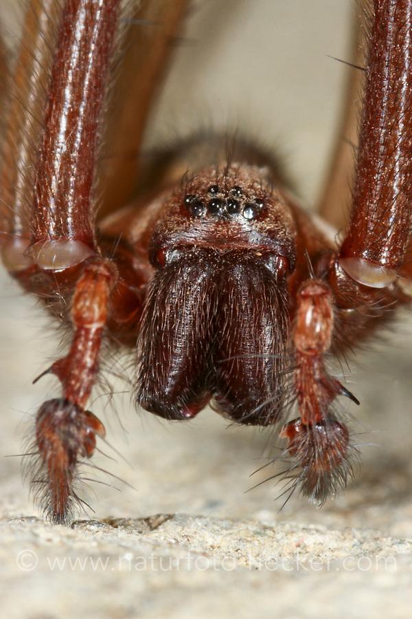 Große Winkelspinne, Hauswinkelspinne, Haus-Winkelspinne, Hausspinne, Kellerspinne, Tegenaria atrica, Eratigena atrica, Tegenaria gigantea, giant European house spider, giant house spider, larger house spider, cobweb spider