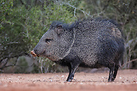 Javelina, Santa Clara Ranch, South Texas