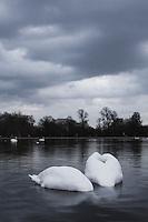 Photos of Swans taken in Hyde Park London
