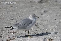 0620-0902  Ring-billed Gull, Larus delawarensis  © David Kuhn/Dwight Kuhn Photography