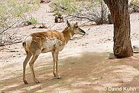 0606-1103  Pronghorn (Prong Buck) in Sonoran Desert, Antilocapra americana  © David Kuhn/Dwight Kuhn Photography