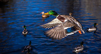 Fine Art Photograph of a Mallard duck in flight with his wings spread out. The textured lighting brought out the beautiful colours of the blue wings, green head, yellow beak, and orange feet of this duck. <br /> A circle of swimming ducks beautifully framed this duck that was flying by.