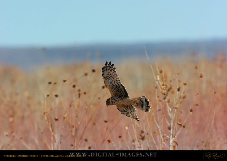 Northern Harrier, Bosque del Apache Wildlife Refuge, New Mexico