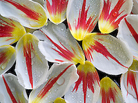 Close up of tulip blossom petals witth water drops.