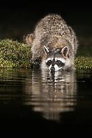 Northern Raccoon (Procyon lotor), adult at night drinking at pond, Dinero, Lake Corpus Christi, South Texas, USA