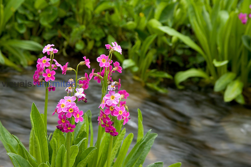 Parry Primrose ,Primula parryi, decorating the bank of an outlet stream of Clear Lake in an alpine area of the San Juan Mountains of Colorado, USA.
