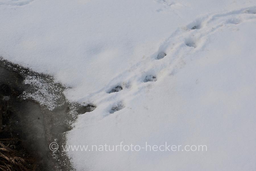 Europäischer Fischotter, Otter, Fisch-Otter, Spuren im Schnee auf einem zugefrorenem Teich führen in offene Wasserflächen, Lutra lutra, European river otter