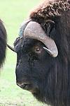 Head of musk oxen