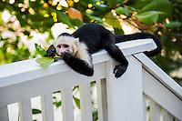Honduras, Roatan Island, Fantasy Island Resort, Caribbean. Monkeys eating and playing.
