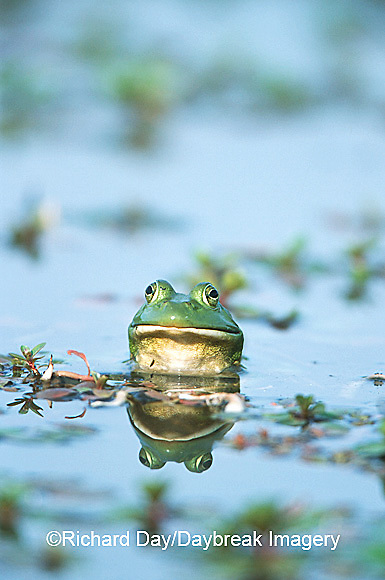 02471-002.15 Bullfrog (Rana catesbeiana) in wetland Marion Co. IL