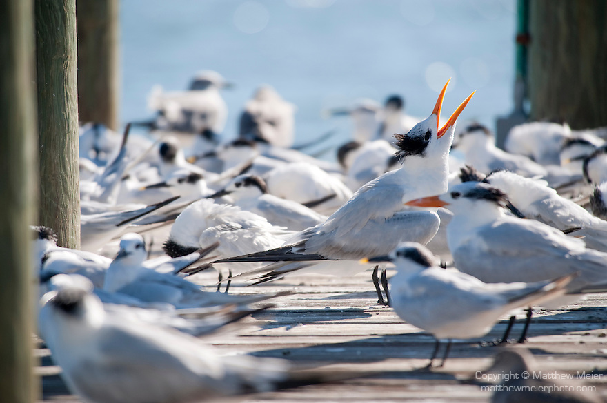 Captiva Island, Florida; a Royal Tern (Thalasseus maximus) bird vocalizes, beak open, on a wooden pier with other Royal Tern and Sandwich Tern (Thalasseus sandvicensis) birds © Matthew Meier Photography, matthewmeierphoto.com All Rights Reserved