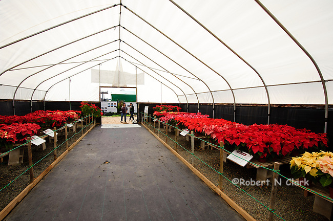 Poinsettias in a greenhouse at the flower fields in Carlsbad