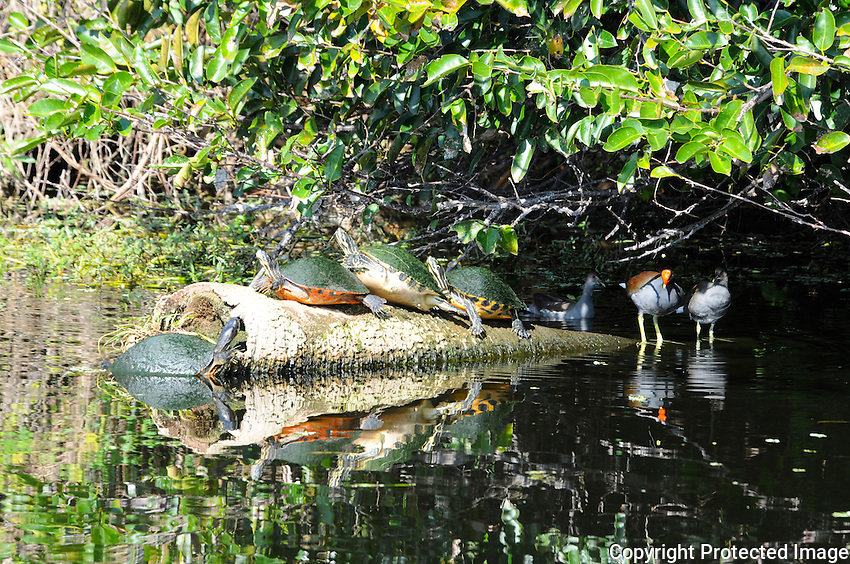 Turtles enjoying late afternoon sunshine and competing for space on a partially submerged log. Photographed at Green Cay Wetlands, Boynton Beach, Florida.