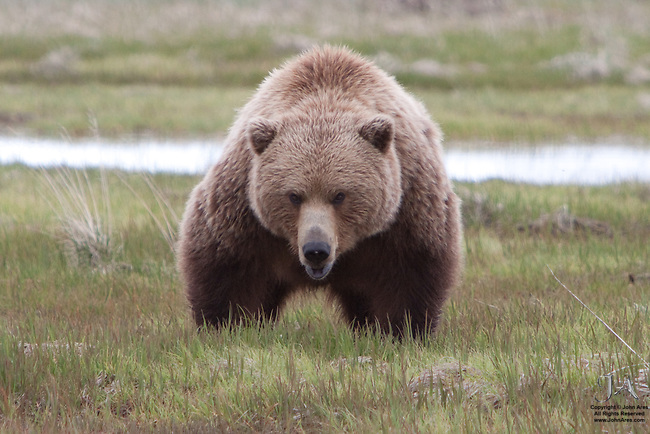Adult Grizzly bear challenging photographer in Katmai National Park, Alaska
