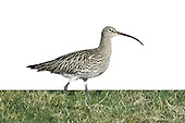Curlew - Numenius arquata L 53-58cm. Large, distinctive wader with a long, downcurved bill. Call is evocative of lonely, windswept uplands during spring and summer, and coasts in winter. Sexes are similar although male has shorter bill than female. Adult has mainly grey-brown plumage, streaked and spotted on neck and underparts; belly is rather pale. Juvenile is similar but it looks overall more buffish brown, with fine streaks on neck and breast and appreciably shorter bill. Voice Utters a characteristic curlew call and bubbling song on breeding grounds. Status Locally common breeding species on N and upland habitats. Almost exclusively coastal outside breeding season.